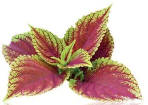 Forskolin and skin conditions